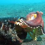 Octopus in bottle (Lembeh Strait)
