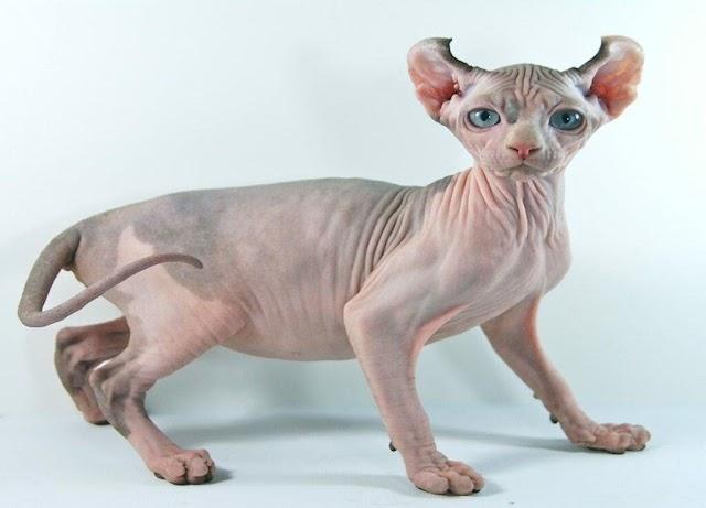 """Conheça o """"Gato Potter"""": o felino que se parece com o elfo da saga Harry Potter"""