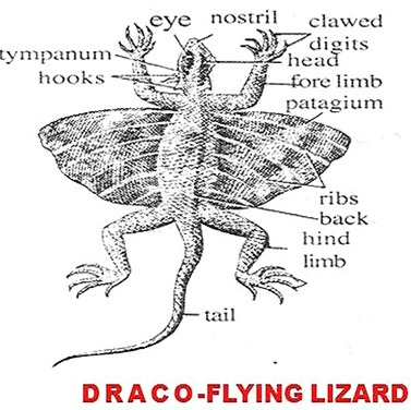 draco-flying lizard1