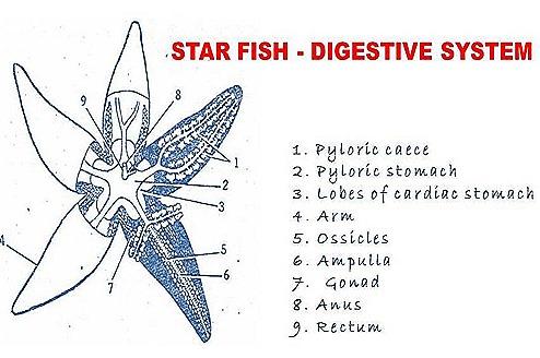 STAR FISH-DIGESTIVE SYSTEM | BIOZOOM