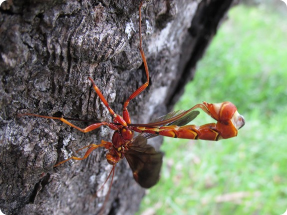 Giant Ichneumon (Ichneumonidae Megarhyssa macrurus)