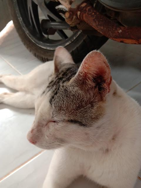 101 jenis kucing