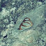 Dynamine racidula racidula (Hewitson, 1852). Cupiagua, 720 m (Casanare, Colombie), 5 novembre 2015. Photo : C. Thoumyre