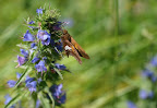 Sliver-spotted Skipper on Viper's Bugloss.