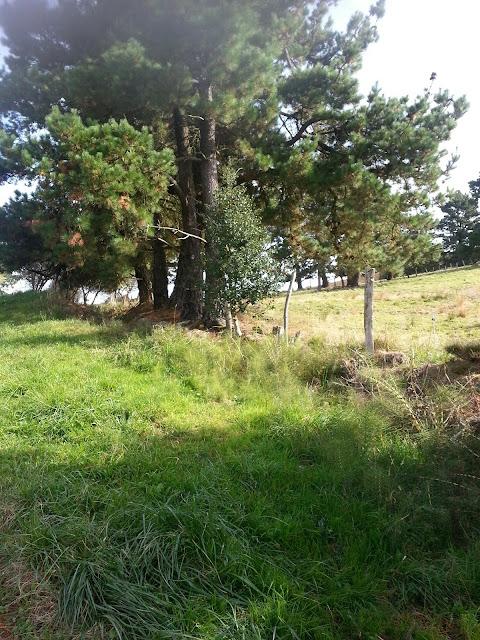 Arbusto de acebo y pino al lada