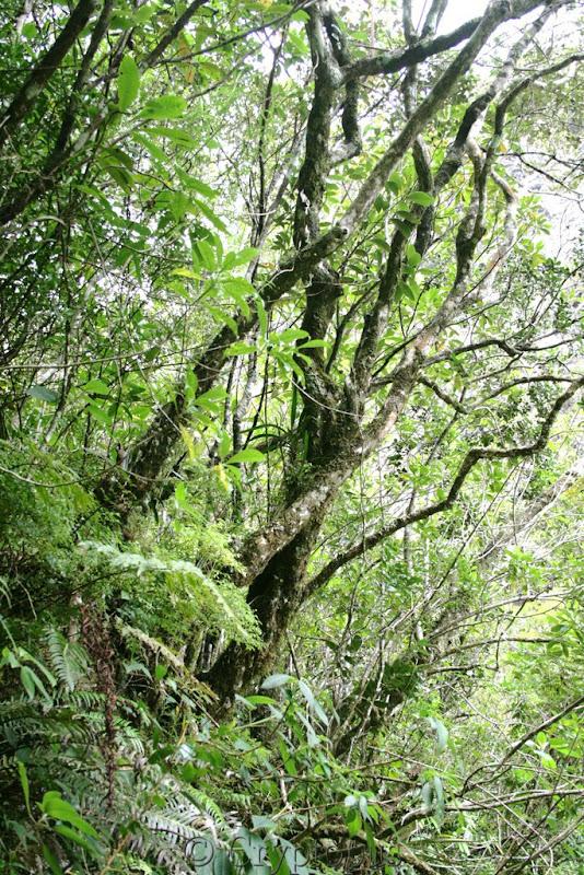 Orchidées in situ, sur l'ile de la Réunion IMG_2152