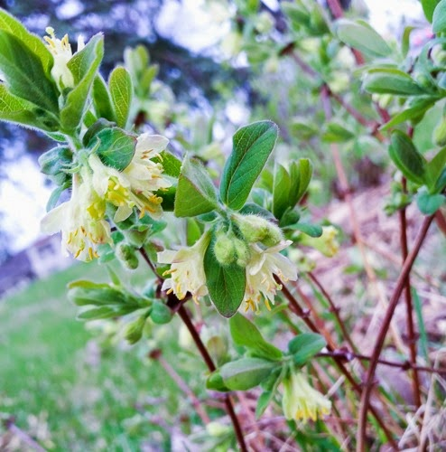 Honeyberry Blooms