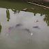Twenty-two monkeys drowned in pond, 12 rescued alive