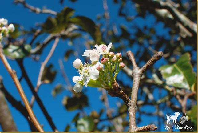 Flower Friday - Bradford Pear (©Bell Fur Zoo)