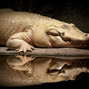 by Brook Kornegay - Animals Reptiles ( leucism, zoo, white alligator, alligator, reptile,  )