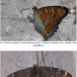 Limenitis populi LINNAEUS, 1758, mâle. Jardin des Papillons de Digne-les-Bains, 650 m, 19 juillet 2008. Photos : Nicolas Maurel