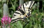 Papilio alexanor.5.jpg