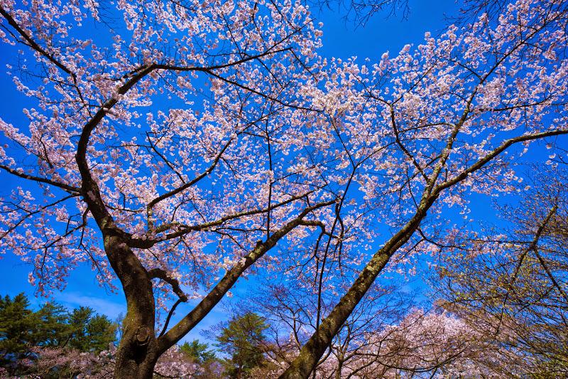 富士ビューホテル 桜 写真21