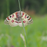 Parnassius (Parnassius) sacerdos cervinicolus FRUHSTORFER, 1907, femelle, Arolla (CH), 2300 m, juillet 2005. Photo : J.-M. Gayman
