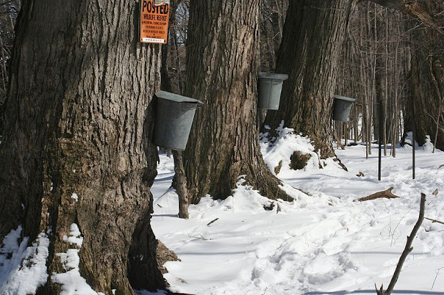Maples with taps and buckets
