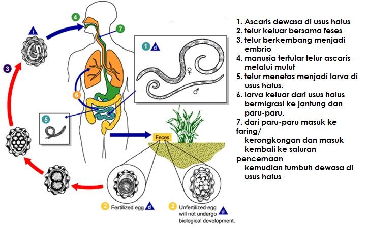 nemathelminthes gambar reproduksi)