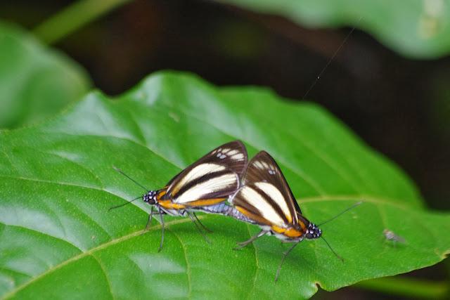 Couple de Vettius phyllus phyllus (Cramer, 1777). Tunda Loma à Calderon (Esmeraldas), 6 décembre 2013. Photo : J.-M. Gayman