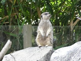 2016.09.02-041 suricate