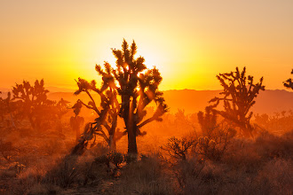 Photo: Joshua trees in dusty golden hour light