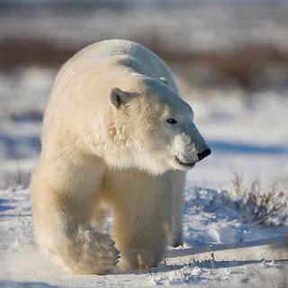 Polar bear walking through snow