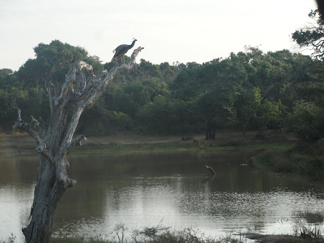 Yala-National-Park-3