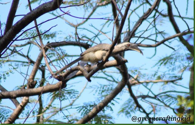 Hornbill at best