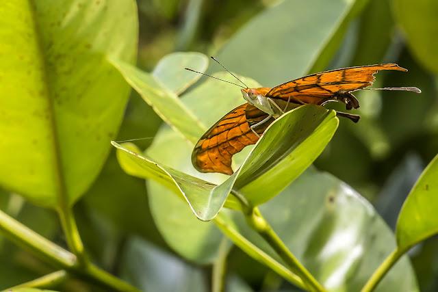 Marpesia petreus petreus (Cramer, 1776). Finca La Graciela, 239 m (Tamarindo, Casanare, Colombie), 5 novembre 2015. Photo : B. Lalanne-Cassou