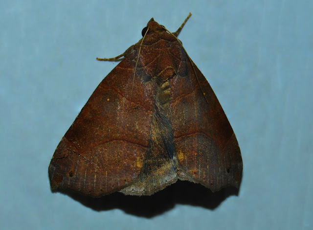 Noctuidae : Catocalinae : Dysgonia hamatilis GUENÉE, 1852. Umina Beach (N. S. W., Australie), 25 décembre 2011. Photo : Barbara Kedzierski