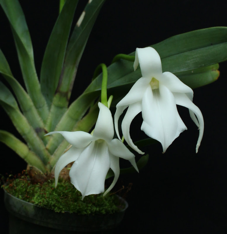 Angraecum magdalenae IMG_1949