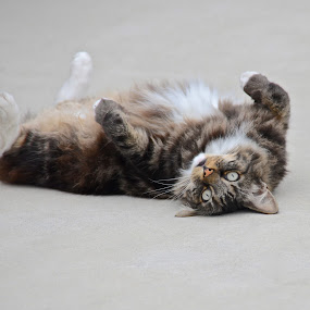 Back Scratch by Allen Randall - Animals - Cats Playing ( scratch, roll, cat, back, itch )