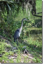Great Blue Heron-4