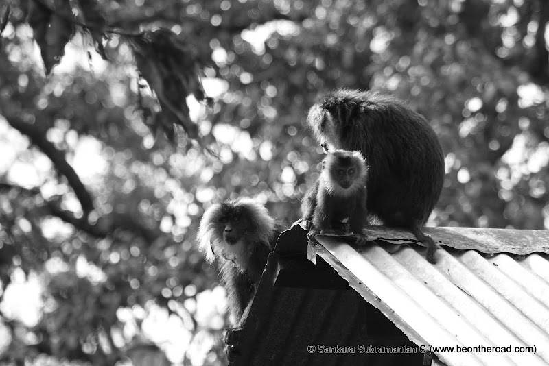 Lion Tailed Macaque Family at Pudhuthotham Tea Estate, Valparai - 3