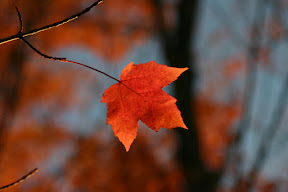 A solitary maple leaf