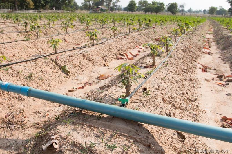 mandioca-mandioca-campo-das-tapiocas-que-cresce-com-sistema-da-irrigação-de-gotejamento-66784552