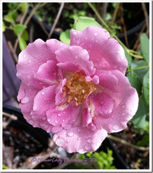 09-02-lav-rose