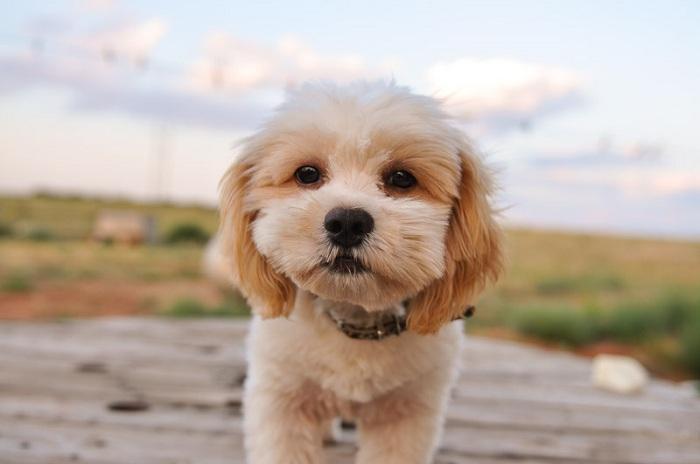 Chó Poodle lai Phốc Sóc. Chó Poodle lai Corgi. Poodle lai Shih Tzu