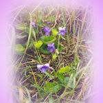 violets.bmp
