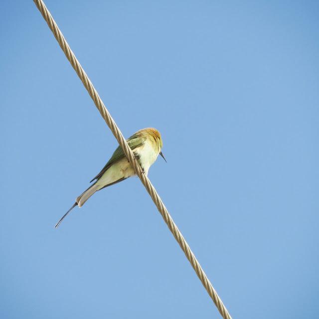 Green Bee-eater, Gadsisar Lake, Jaisalmer