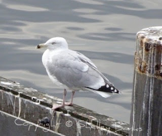 Gull. Amsterdam.  © Copyright, Shelley Banks, all rights reserved.