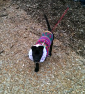 Mia walking on leash wearing a brightly colored sweater