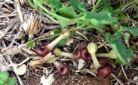 "Aristolochia mikrostoma : Το μοναδικό σε όλο τον κόσμο λουλούδι της Ελλάδας που ""εξαπατά"" με την μυρωδιά του τα έντομα"