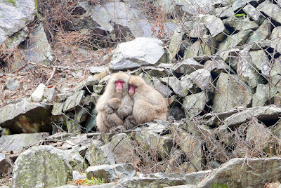 The Snow Monkeys of Jigokudani Yaen Koen Monkey Park. These two were snuggled like this the whole visit, demonstrating the definition of how close 2 individuals can snuggle.