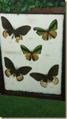 IMG_20180131_Angostura butterflies