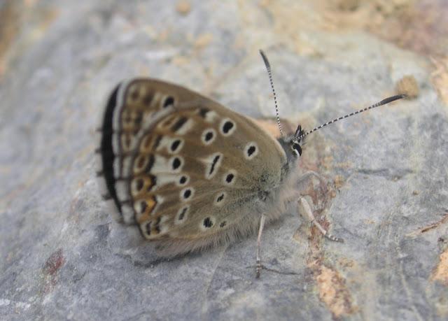 Alpherakya devanica vanjica ssp. nova mâle : entrée de la gorge de Gishkun, 1800 m, près de Vanj (verso) ; 17 juillet 2008. Photo : Jean-Marie Desse.