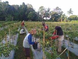 Sertu Irwan Yuliadi Penen Perdana Lombok Bersama Warga