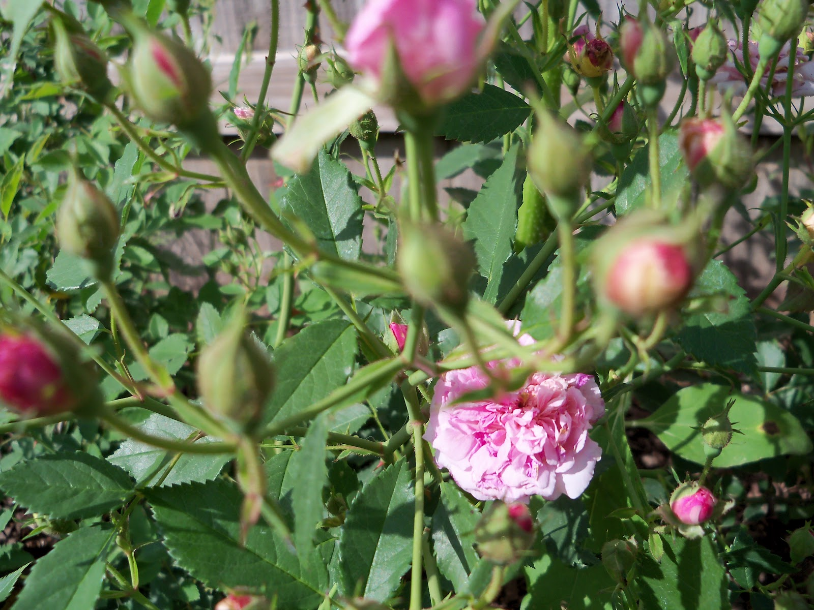 Gardening 2010 - 101_1509.JPG