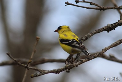 Goldfinch summer feathers