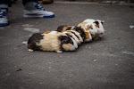A street show guinea pig race...