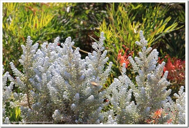 160813_UCSC_Arboretum_Maireana-sedifolia_004