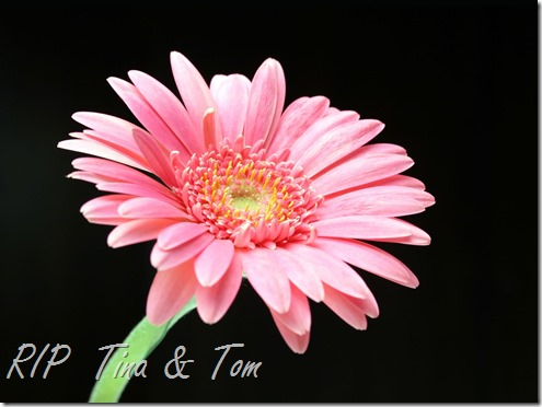 pink_daisy-1600x1200